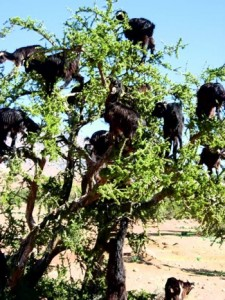 Argan Oil & Goats in Trees, Your Morocco Travel Guide