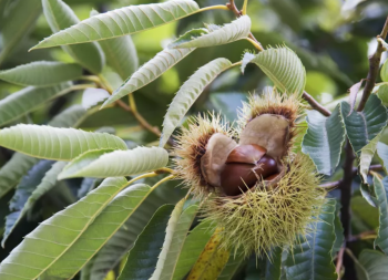 chestnut-tree-morocco-travel-blog